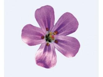 Huile Parfumée Fleur de Géranium
