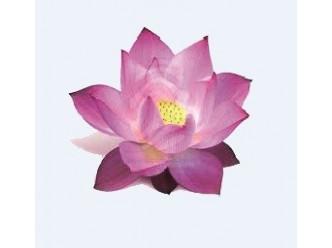 Huile à la fleur d'Hortensia