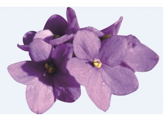 Huile fleur de Violette