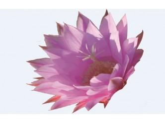 Huile fleur de Cactus